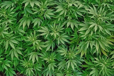 Trafic de cannabis : Un sexagénaire arrêté, deux armes à feu saisies à son domicile