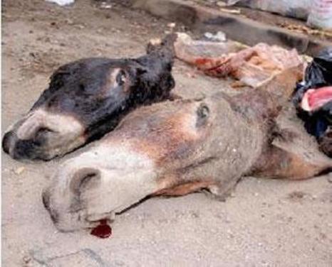 Affaire de l'abattage d'ânes au technopole : Les effroyables aveux du chef boucher