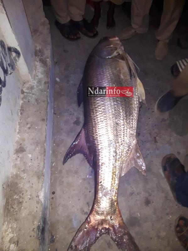 Saint-Louis : Un étrange poisson de 50 kg pêché au niveau du pont Faidherbe. Regardez