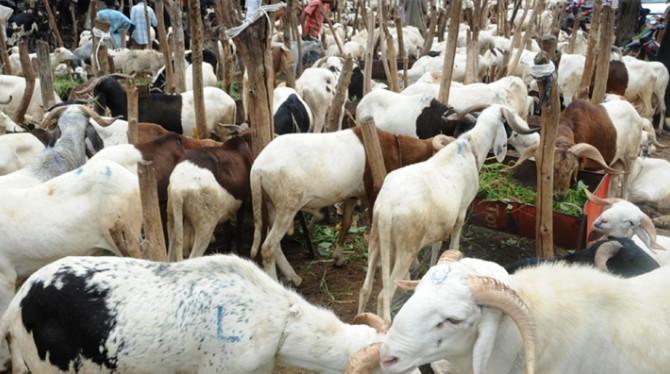 Après trois jours de travail: Le berger disparaît avec les 200 moutons de son employeur