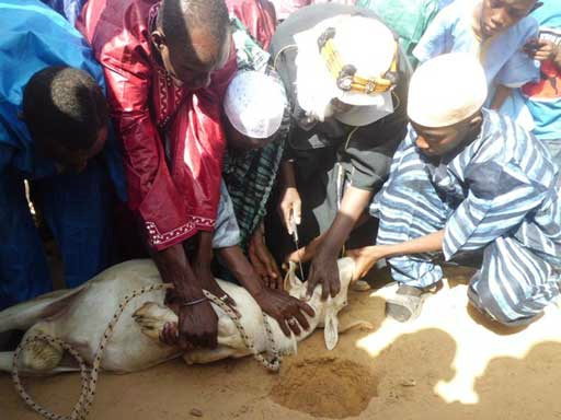 Contribution : Désormais la S.P.A interdit aux Sénégalais de tuer leurs moutons avec un couteau le jour de la tabaski
