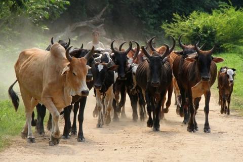 Kaolack : Le plus grand voleur de bétail de la région libéré sans procès