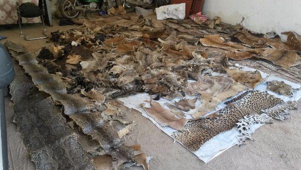 Criminalité faunique : Un trafiquant majeur arrêté à Kaolack avec une grande quantité de contrebande de peaux de lions et autres espèces rares