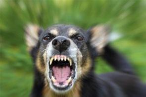 un chien enragé