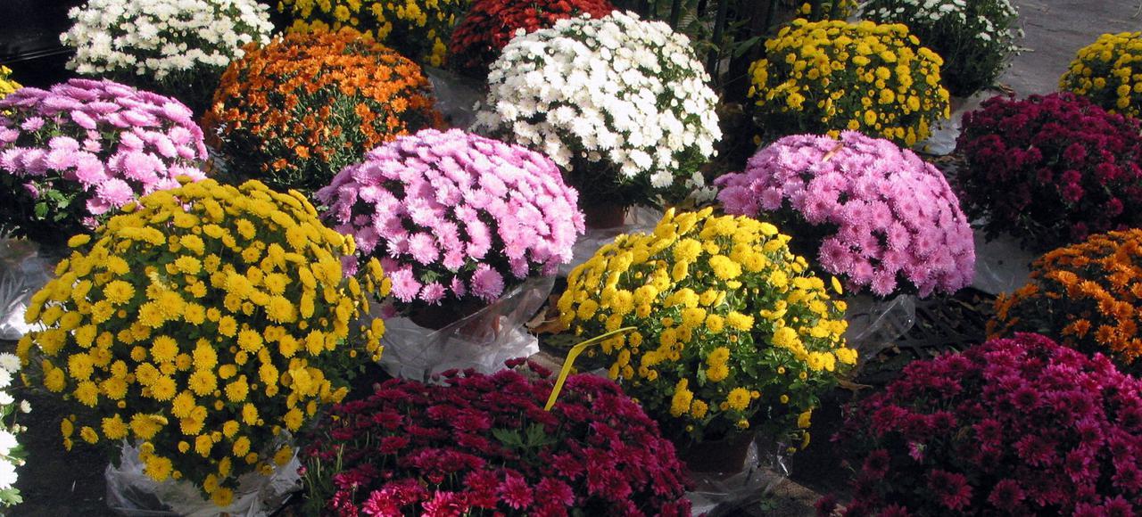 fleurs de la toussaint