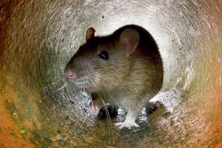 Une école maternelle fermée à cause de rats : ils déambulaient dans les classes