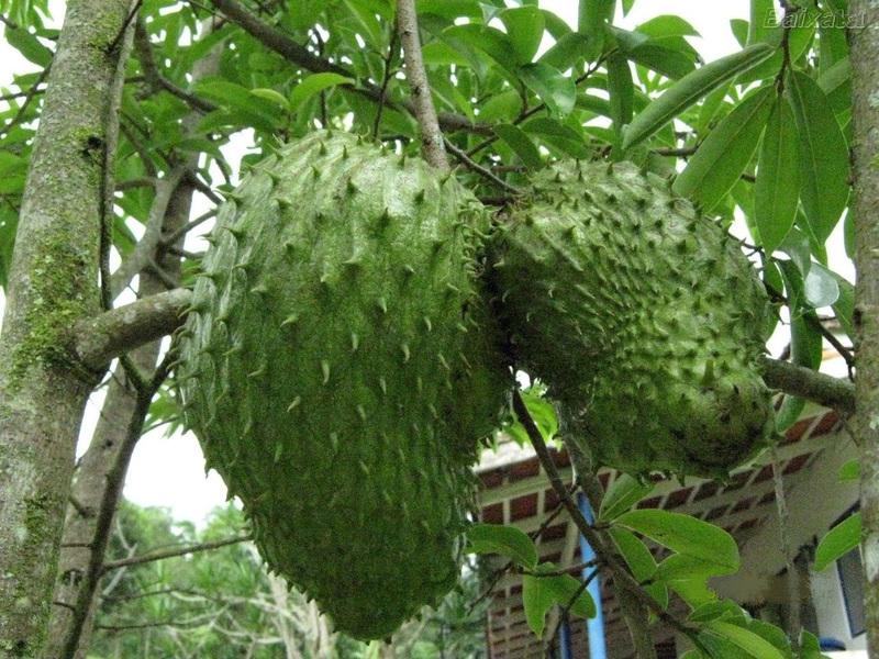 Le corossol, un remède contre le cancer et un fruit aux multiples bienfaits