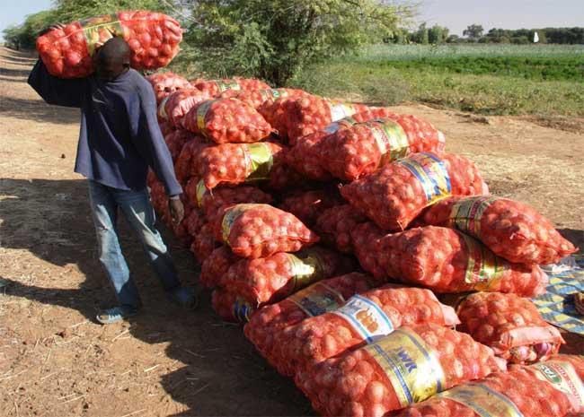 Commercialisation de l'oignon: Plus de 300 millions injectés dans la campagne