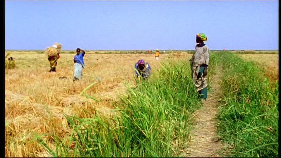 Campagne de contre-saison dans le Delta : Vive polémique autour des rendements des productions rizicoles