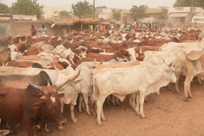 Touba : Plus de 70 000 bêtes pour le Magal