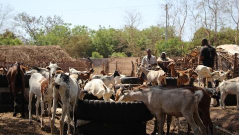 Gambie : le bétail de Jammeh vendu aux enchères