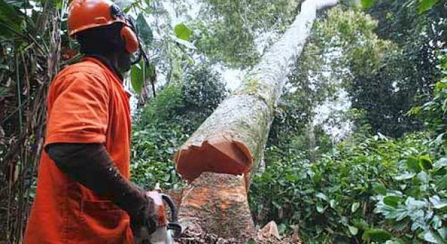 Suspension de la coupe de bois en Casamance: Greenpeace salue la décision du Président Macky Sall