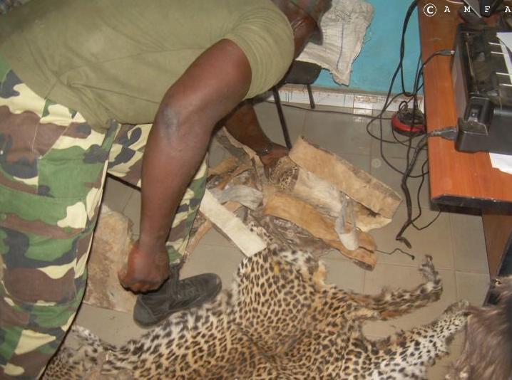 Criminalité faunique: Trois personnes arrêtées à Tamba avec des peaux et des têtes de lion, de léopard...