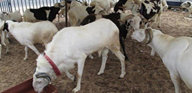 80 moutons de la mutuelle de la Gendarmerie volés