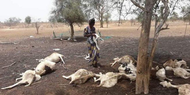 Kolda et Sédhiou: Une maladie mystérieuse ravage le cheptel, inquiets les éleveurs sonnent l'alerte