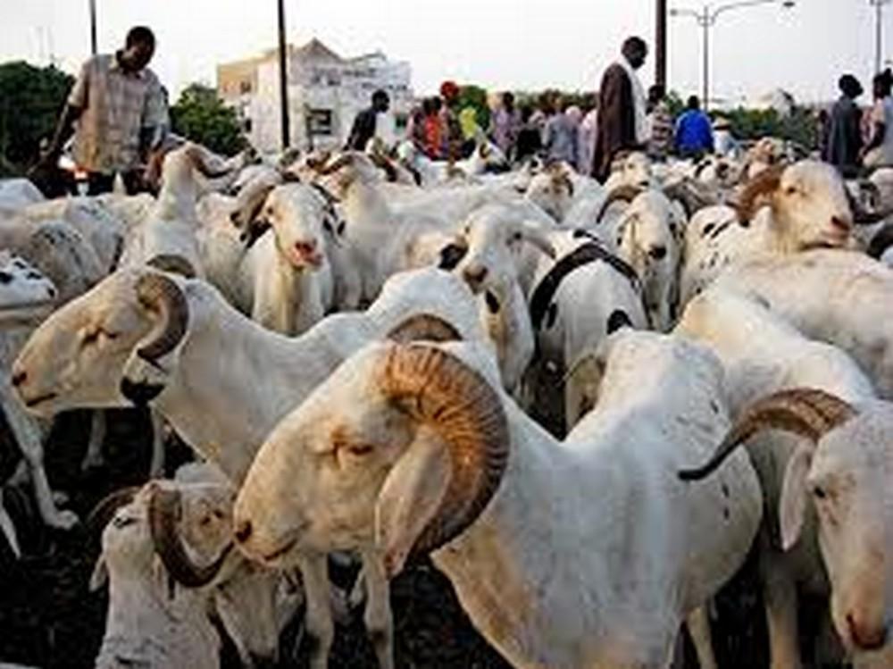 Diourbel : les prix des moutons sont exorbitants