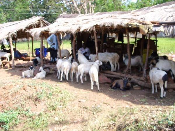 Tabaski des « Goorgorlou » : Les moutons « poids plumes » en vedette