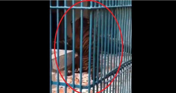 Parc de Hann: la vérité sur le tigre qui émeut la toile