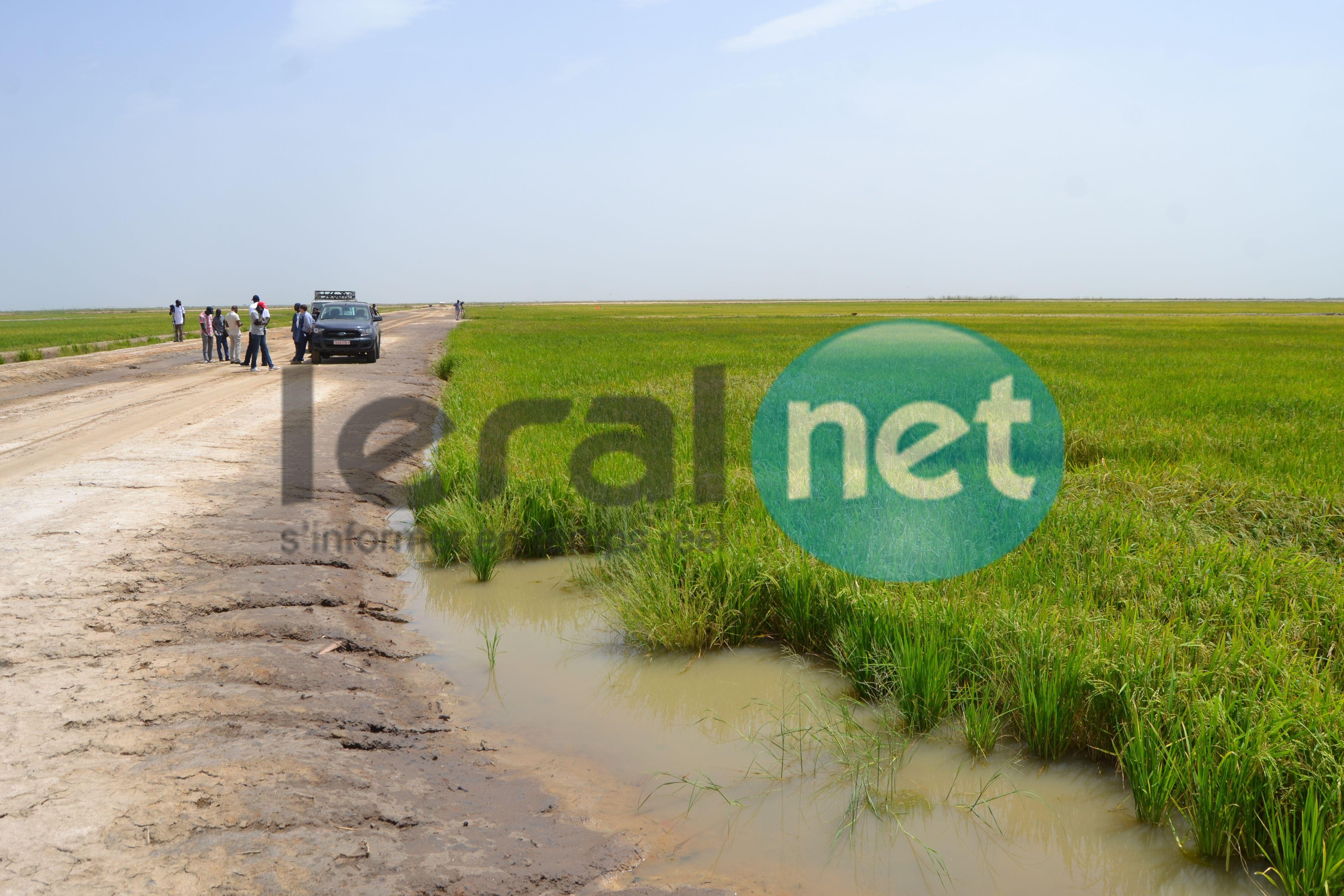 Autosuffisance en riz:  La Compagnie agricole de Saint-Louis (Casl) montre la voie