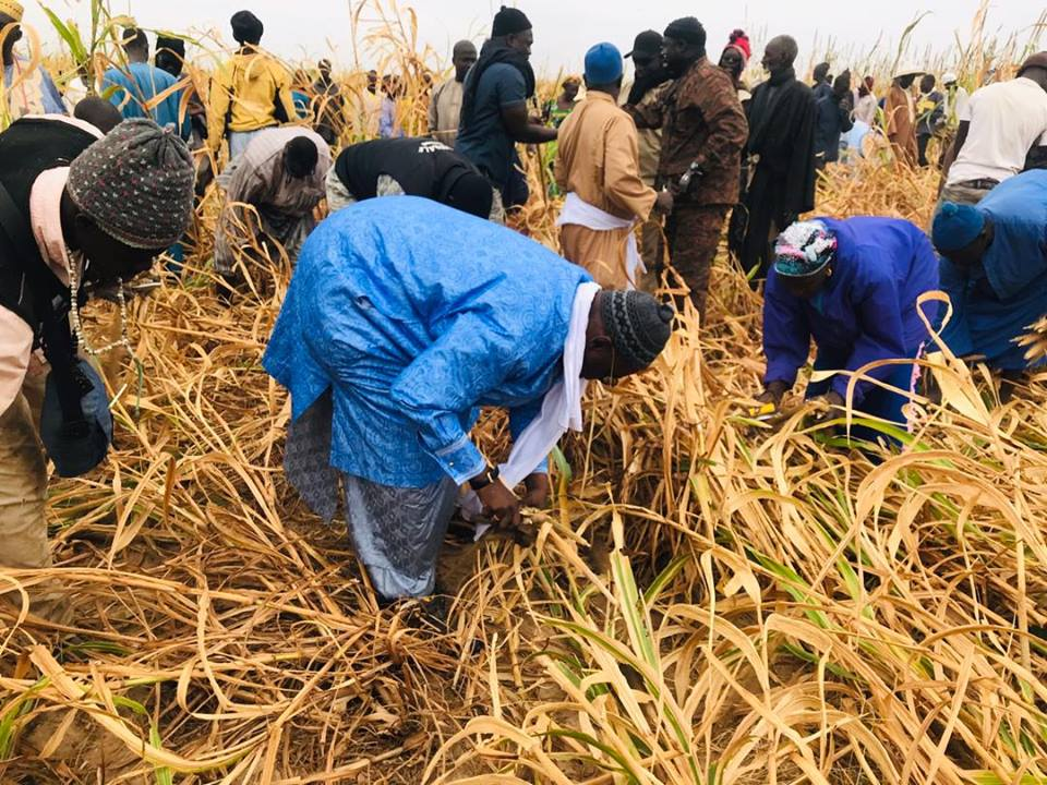 Samuel Sarr a répondu à l'Appel de Serigne Saliou Mbacké pour les travaux champêtres des champs de Lagane
