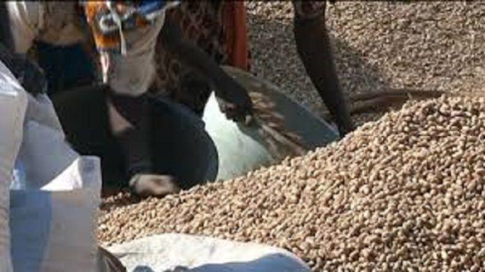 Commercialisation de l'arachide : les paysans du Saloum, dindons de la farce
