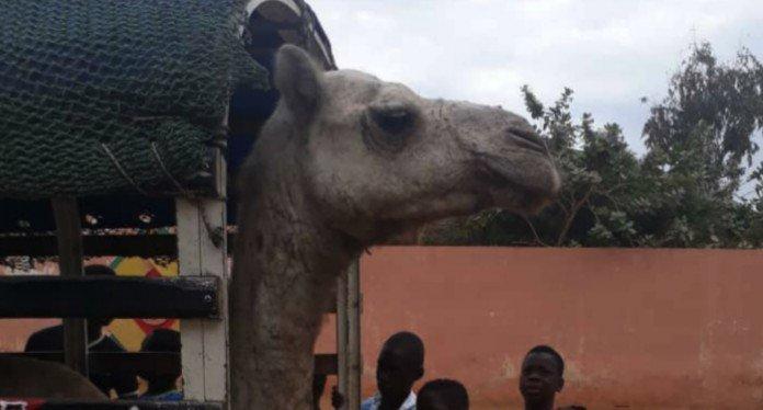 Arrêt sur image - Mod Lô / Balla Gaye 2 : Que fait ce chameau aux alentours du stade LSS ?