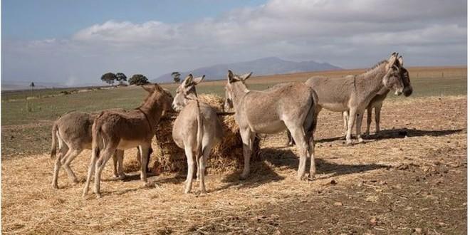 Koumpentoum - 91 équidés morts : Les services vétérinaires suspectent la gourme (angine du cheval)