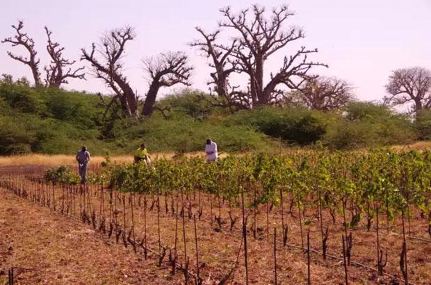 Nguékhokh : les premières bouteilles de vin made in Sénégal, bientôt sur le marché
