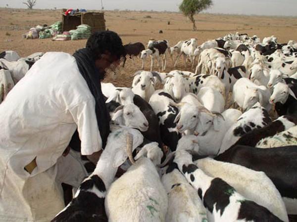 Vol de bétail: Le gang d'Ousseynou «Tialakh» risque 10 ans de prison