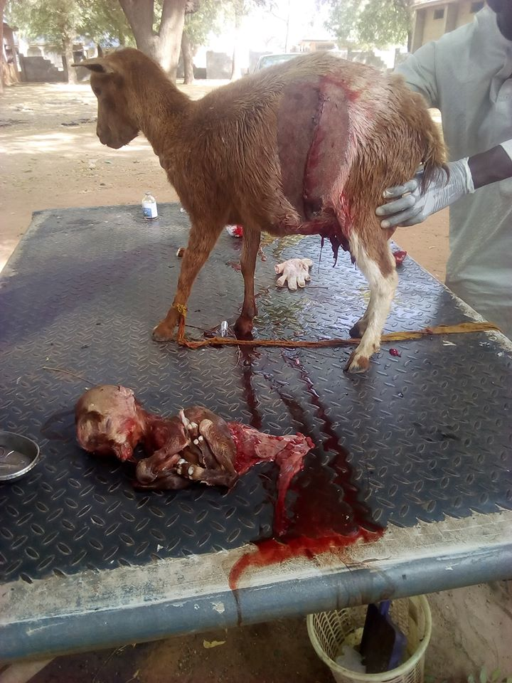 Nigéria: Une chèvre donne naissance à un petit avec un crâne de forme humaine (photos)