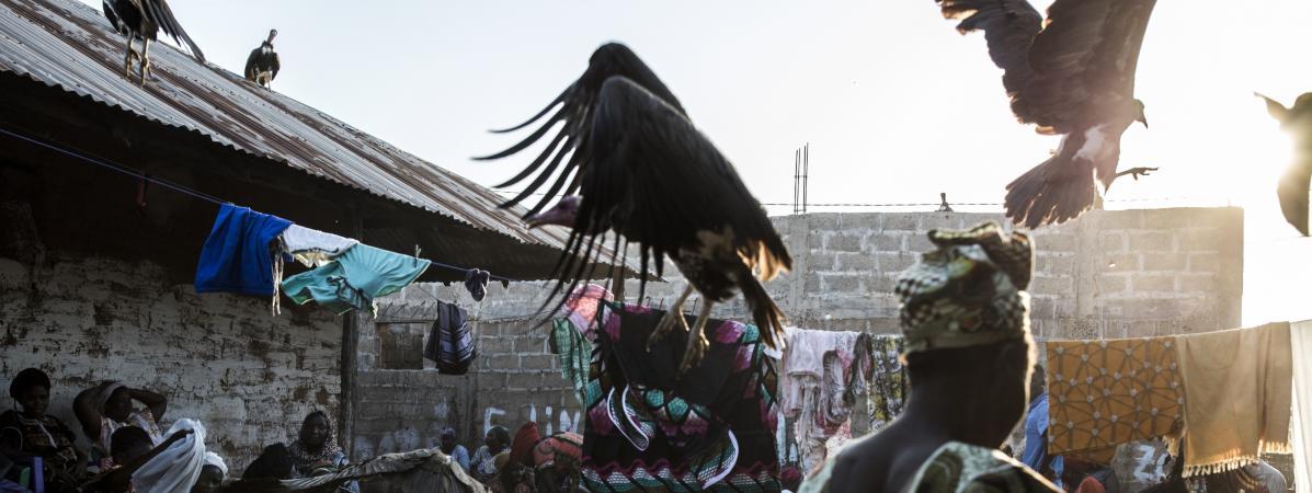 Guinée-Bissau : mort mystérieuse de plus de 200 vautours