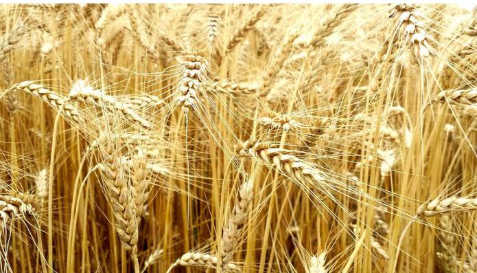 Covid-19 : La Russie annonce la suspension de ses exportations de céréales jusqu'à juillet
