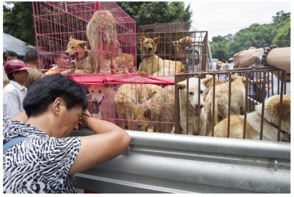 Le festival de la viande de chien, Yulin, a ouvert en Chine malgré le coronavirus