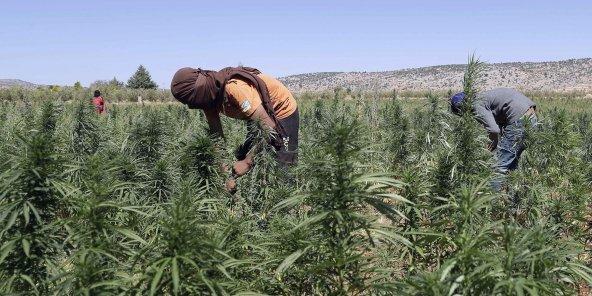 Le cannabis, nouvel or vert du Liban ?