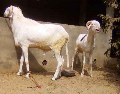 A vendre des moutons moins cher