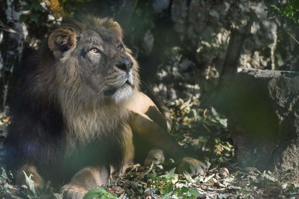 Oussouye: La présence d'un lion perturbe les populations