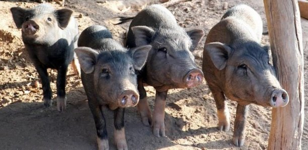 Cimetière de Keur Goumack: des corps déterrés par les porcs