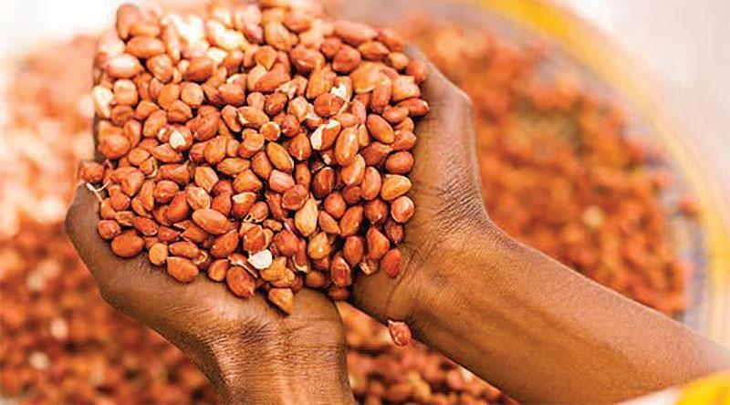 Les paysans du Bassin arachidier appellent à la rétention des graines
