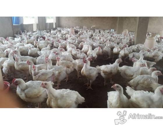 Des cas de grippe aviaire H5n1 à Thiès