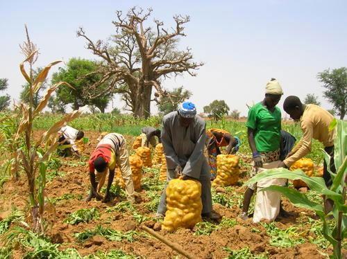 Risque de pourrissement de leurs pommes de terre: Les producteurs de Notto Gouye Diama tirent la sonnette d'alarme