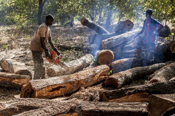 Casamance / Coupe illicite de bois: Près de 94 millions FCfa de recettes en 2020
