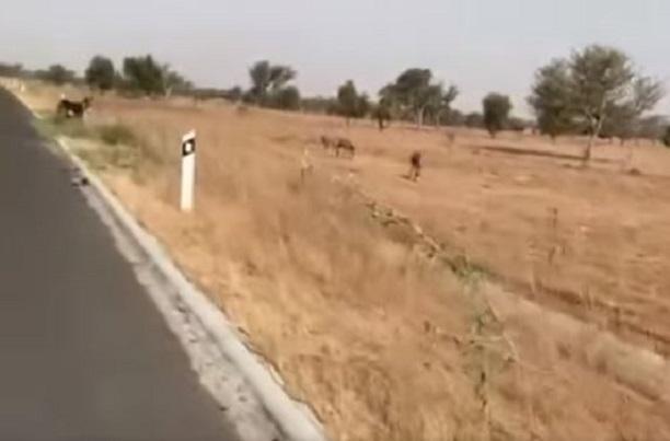Alerte danger sur l'autoroute « Ilaa Touba » : les ânes à l'aise comme en terrain conquis sur certains axes