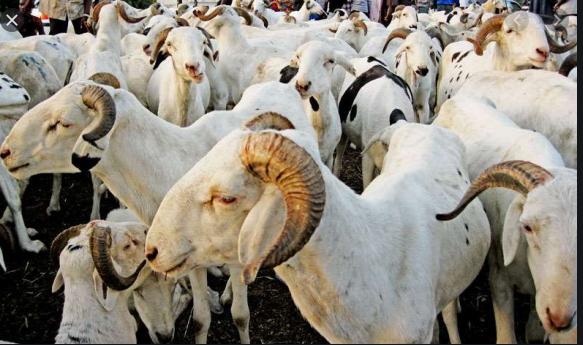 Cent trente mille moutons déjà disponibles à Diourbel