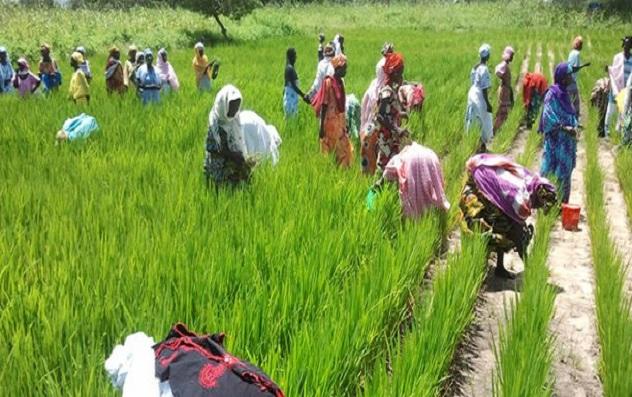 Reprise des pluies a Linguère : L'espoir renaît chez le monde paysan