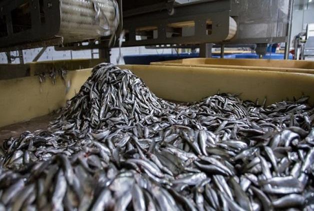 Les usines  menacent nos ressources halieutiques: Il leur faut 5 tonnes de poisson pour produire 1 tonne de farine et 20 kg, pour un litre d'huile