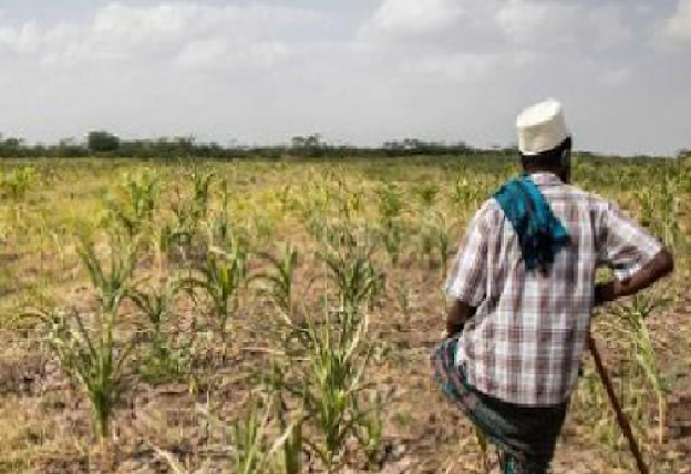 Manque d'engrais, insuffisance de semences, pause pluviométrique, insectes ravageurs…: Des paysans prédisent de très mauvaises récoltes