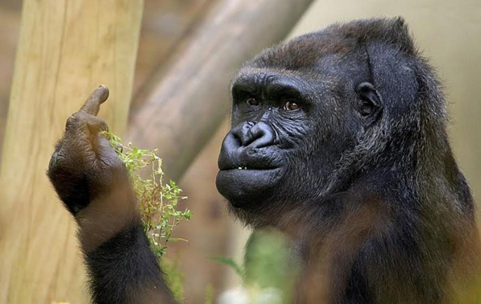 Quand un gorille fait un doigt d'honneur aux visiteurs d'un zoo
