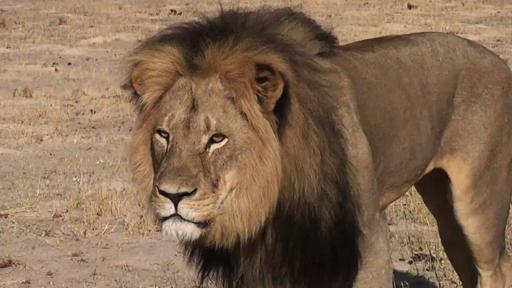 Mort du lion Cecil: deux Zimbabwéens attendus devant le juge sans leur client américain