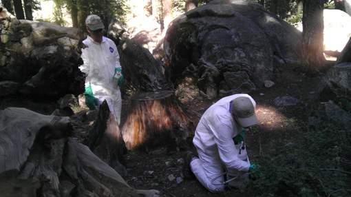 Californie : Un 2e touriste touché par la peste après une visite au Yosemite