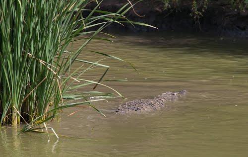 Alerte à Bignona : un groupe de crocodiles sème la terreur au barrage d'Afignam